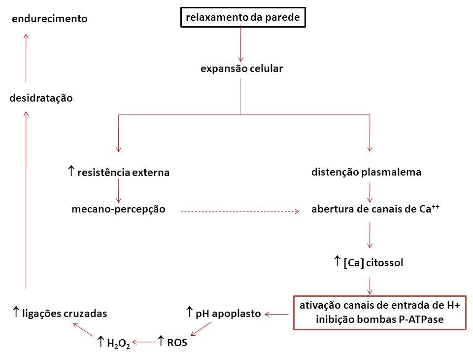 relaxamento da parede expansão celular  resistência externa distenção plasmalema abertura de canais de Ca ++   Ca  citossol ativação canais de entrada de H+ inibição bombas P-ATPase  pH apoplasto mecano-percepção  ligações cruzadas  ROS  H 2 O 2 desidratação endurecimento