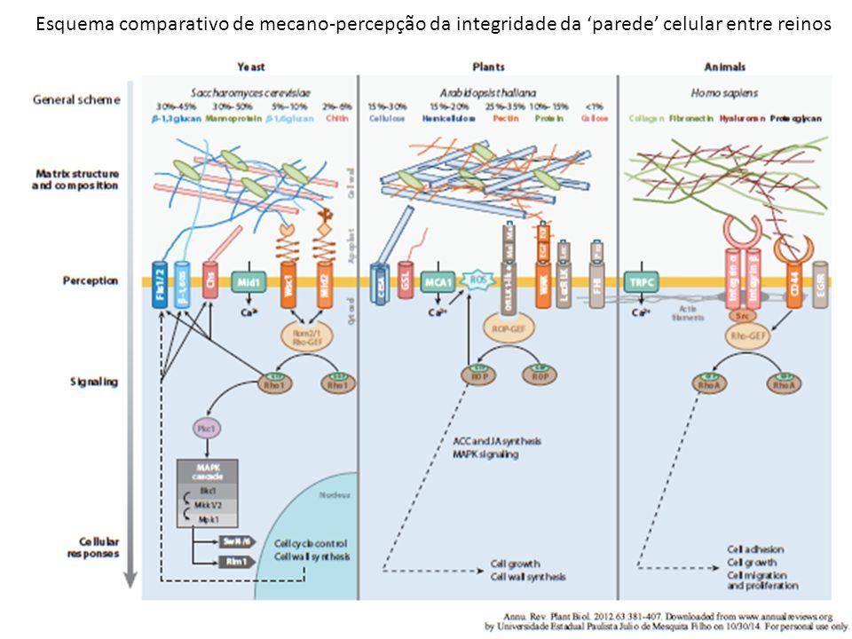 Esquema comparativo de mecano-percepção da integridade da 'parede' celular entre reinos
