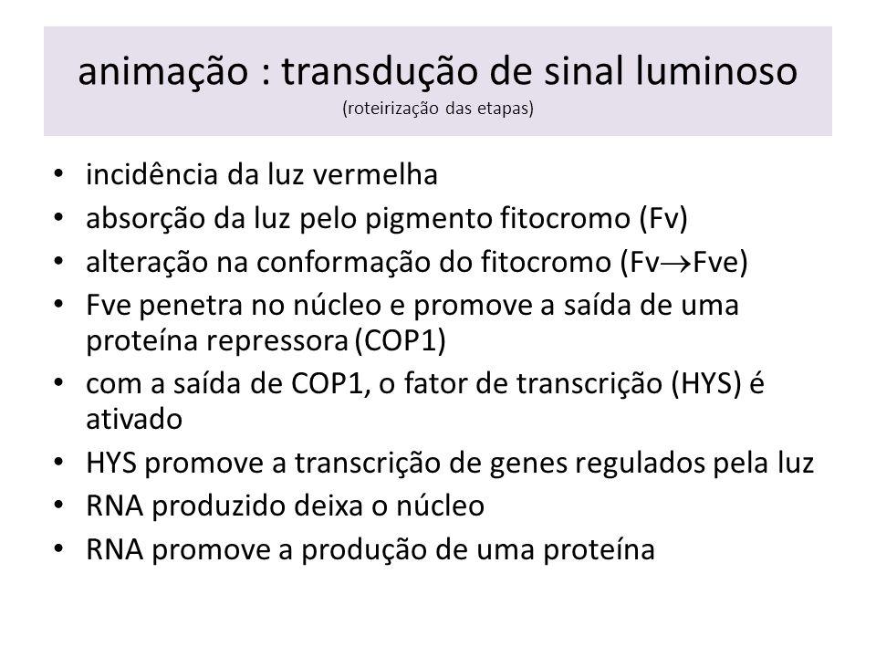 animação : transdução de sinal luminoso (roteirização das etapas) incidência da luz vermelha absorção da luz pelo pigmento fitocromo (Fv) alteração na conformação do fitocromo (Fv  Fve) Fve penetra no núcleo e promove a saída de uma proteína repressora (COP1) com a saída de COP1, o fator de transcrição (HYS) é ativado HYS promove a transcrição de genes regulados pela luz RNA produzido deixa o núcleo RNA promove a produção de uma proteína