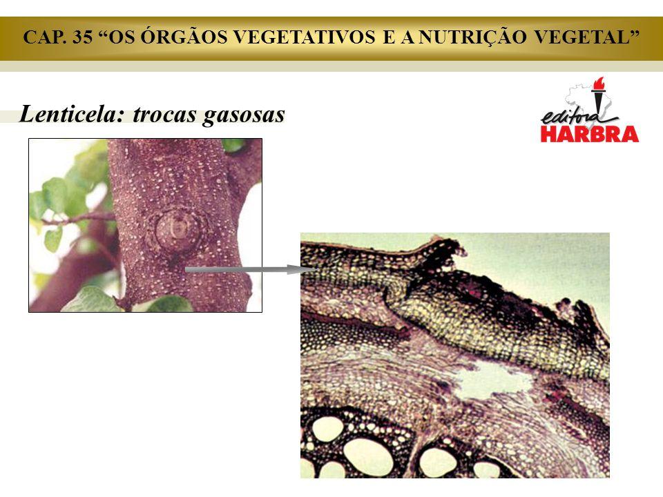 """Lenticela: trocas gasosas CAP. 35 """"OS ÓRGÃOS VEGETATIVOS E A NUTRIÇÃO VEGETAL"""""""