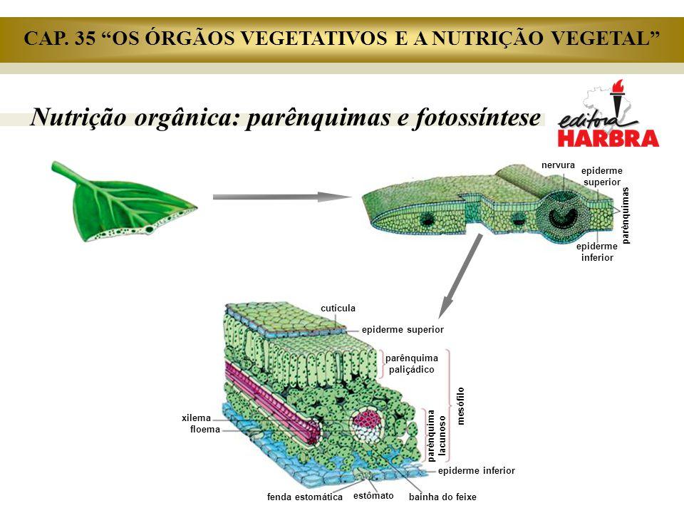 Nutrição orgânica: parênquimas e fotossíntese nervura epiderme superior parênquimas epiderme inferior cutícula epiderme superior parênquima paliçádico