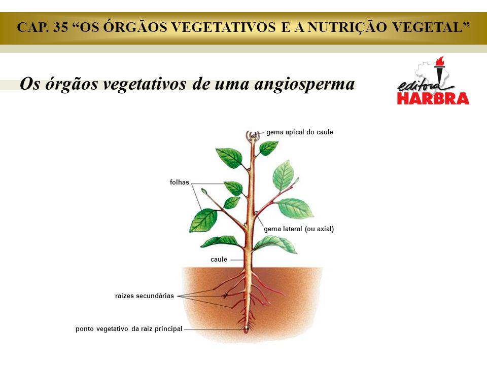 Os órgãos vegetativos de uma angiosperma folhas caule raízes secundárias ponto vegetativo da raiz principal gema lateral (ou axial) gema apical do cau
