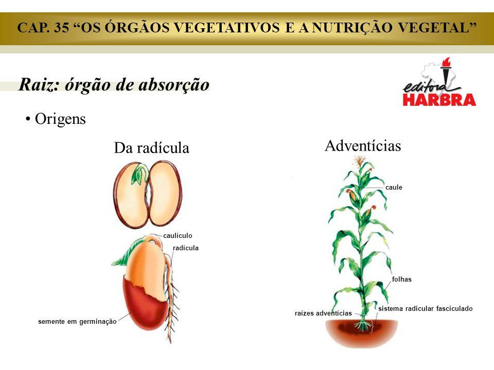 Raiz: órgão de absorção Origens caulículo radícula semente em germinação Da radícula caule folhas raízes adventícias sistema radicular fasciculado Adv