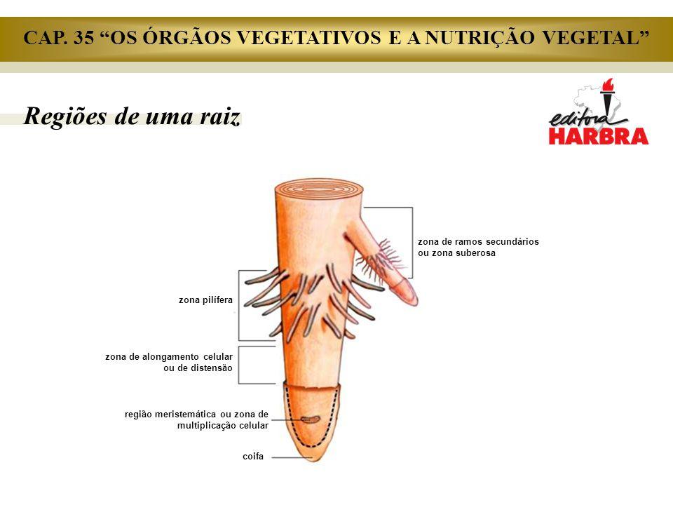 Regiões de uma raiz zona de ramos secundários ou zona suberosa zona pilífera zona de alongamento celular ou de distensão região meristemática ou zona