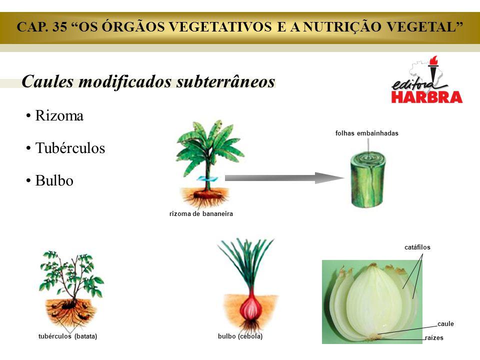 Caules modificados subterrâneos Rizoma Tubérculos Bulbo rizoma de bananeira folhas embainhadas tubérculos (batata) bulbo (cebola) catáfilos raízes cau