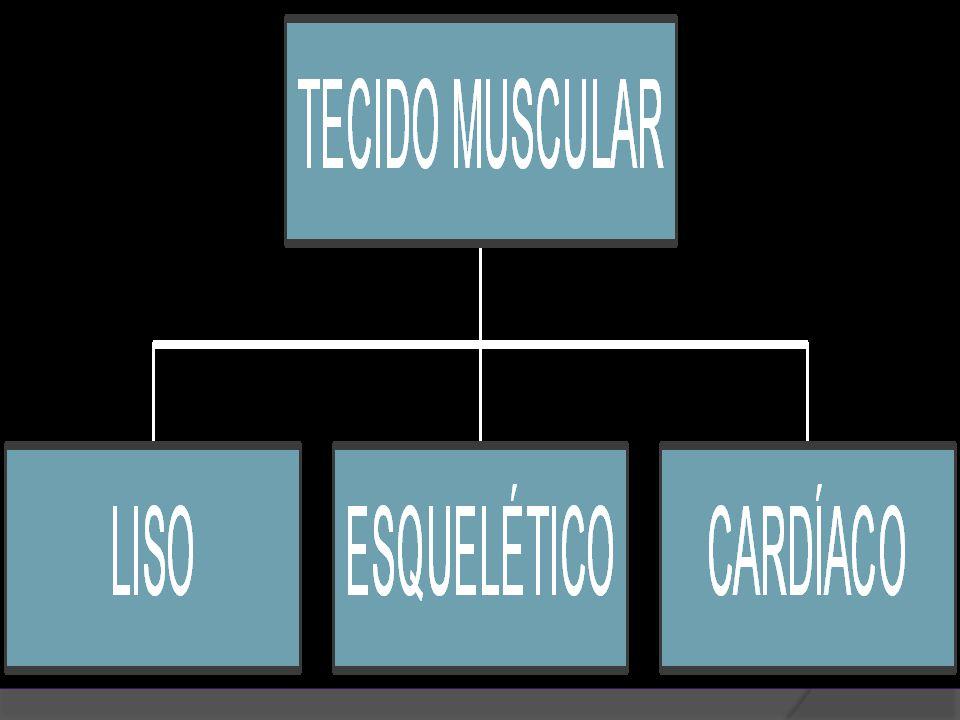 MÚSCULO LISO  É uma associação de células longas.
