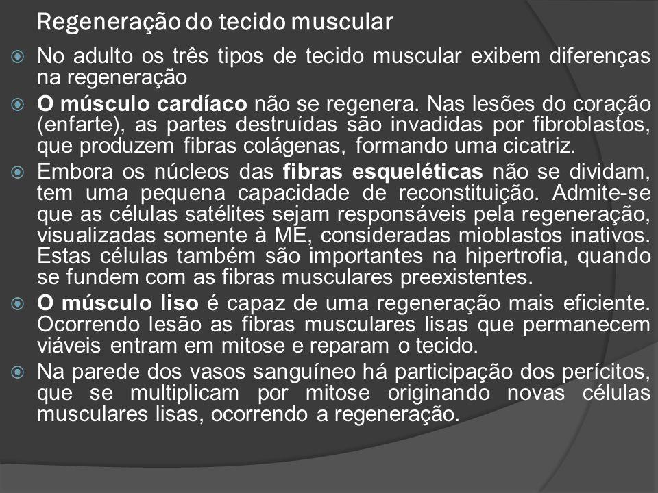 Regeneração do tecido muscular  No adulto os três tipos de tecido muscular exibem diferenças na regeneração  O músculo cardíaco não se regenera. Nas