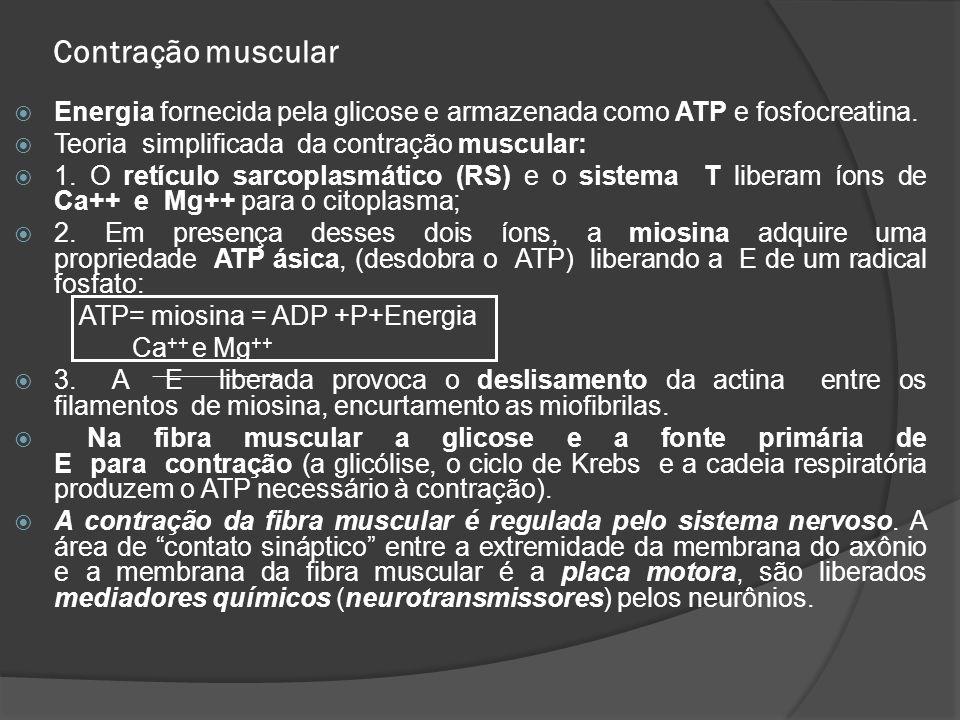 Contração muscular  Energia fornecida pela glicose e armazenada como ATP e fosfocreatina.  Teoria simplificada da contração muscular:  1. O retícul