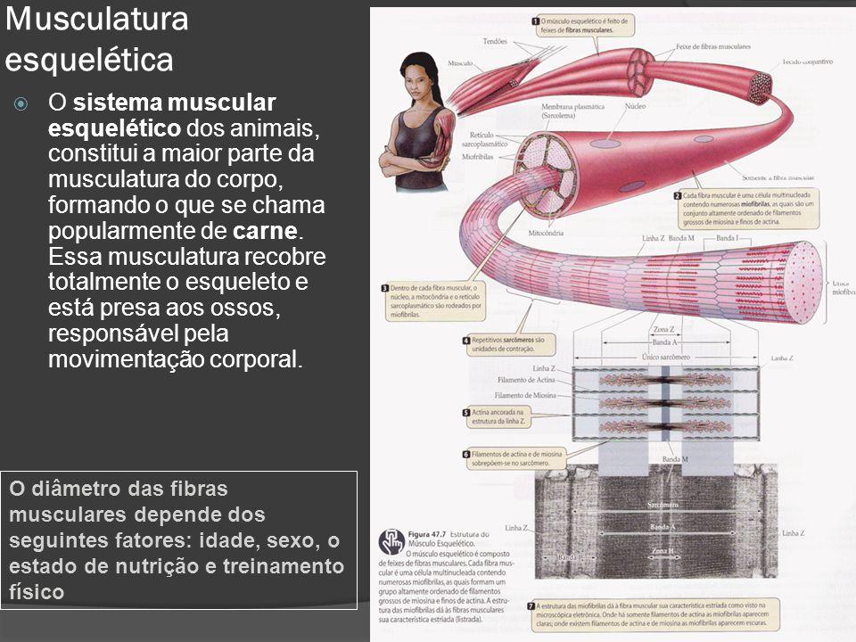 Musculatura esquelética  O sistema muscular esquelético dos animais, constitui a maior parte da musculatura do corpo, formando o que se chama popularmente de carne.