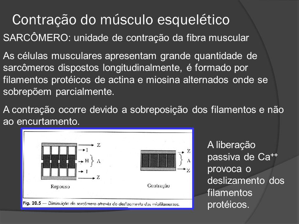 Contração do músculo esquelético SARCÔMERO: unidade de contração da fibra muscular As células musculares apresentam grande quantidade de sarcômeros dispostos longitudinalmente, é formado por filamentos protéicos de actina e miosina alternados onde se sobrepõem parcialmente.