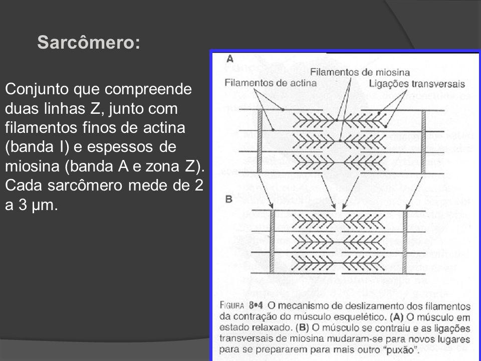 Conjunto que compreende duas linhas Z, junto com filamentos finos de actina (banda I) e espessos de miosina (banda A e zona Z). Cada sarcômero mede de