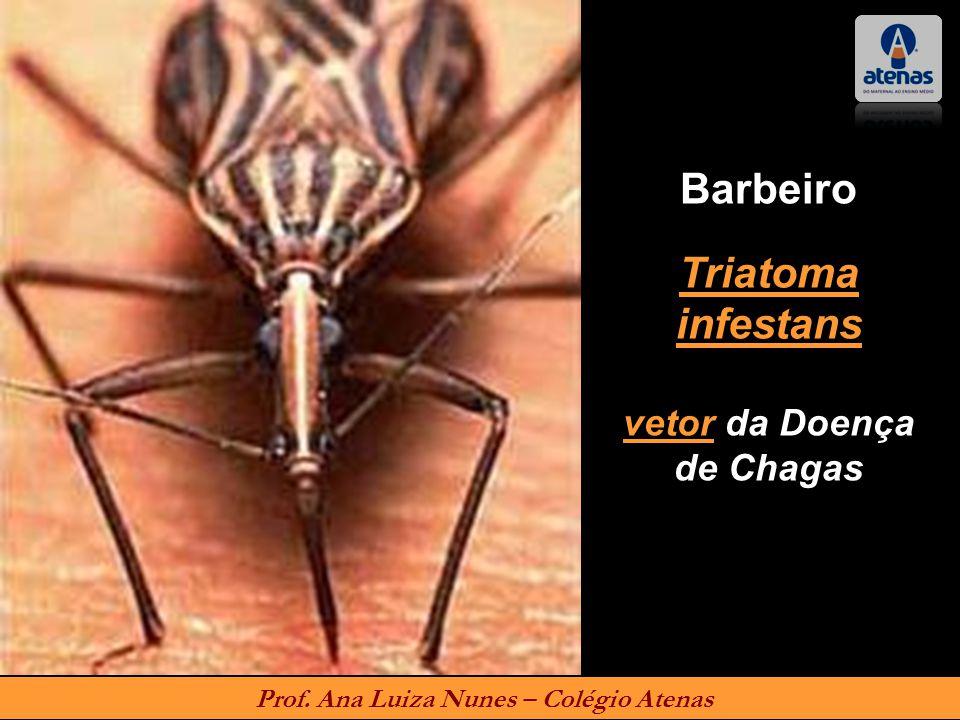 Barbeiro Triatoma infestans vetor da Doença de Chagas Prof. Ana Luiza Nunes – Colégio Atenas