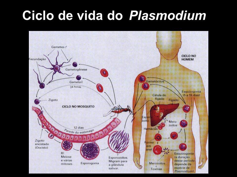 Ciclo de vida doPlasmodium