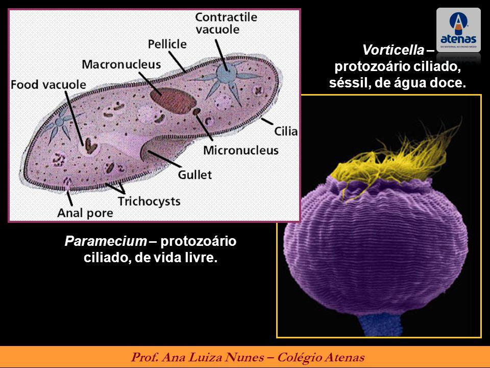 Paramecium – protozoário ciliado, de vida livre. Vorticella – protozoário ciliado, séssil, de água doce. Prof. Ana Luiza Nunes – Colégio Atenas