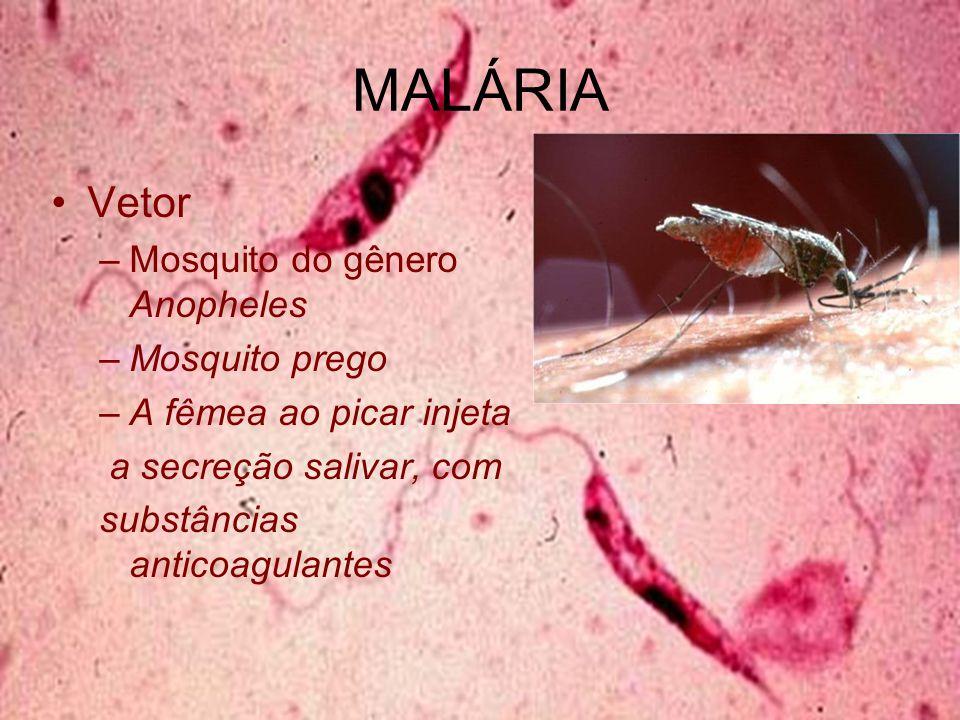 MALÁRIA Vetor –Mosquito do gênero Anopheles –Mosquito prego –A fêmea ao picar injeta a secreção salivar, com substâncias anticoagulantes
