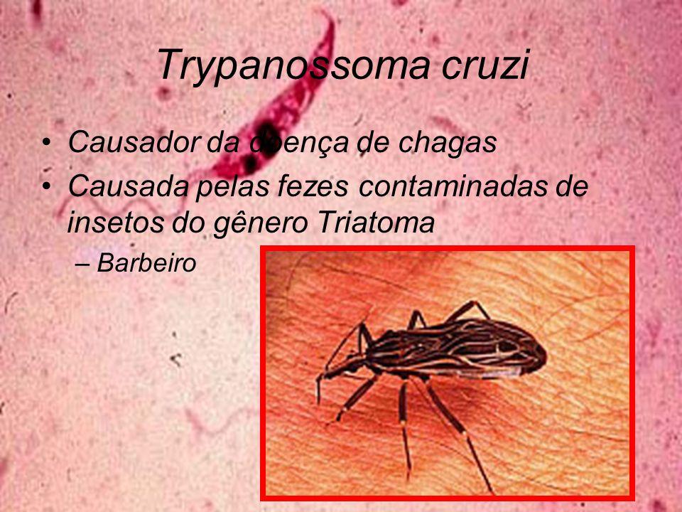 Trypanossoma cruzi Causador da doença de chagas Causada pelas fezes contaminadas de insetos do gênero Triatoma –Barbeiro