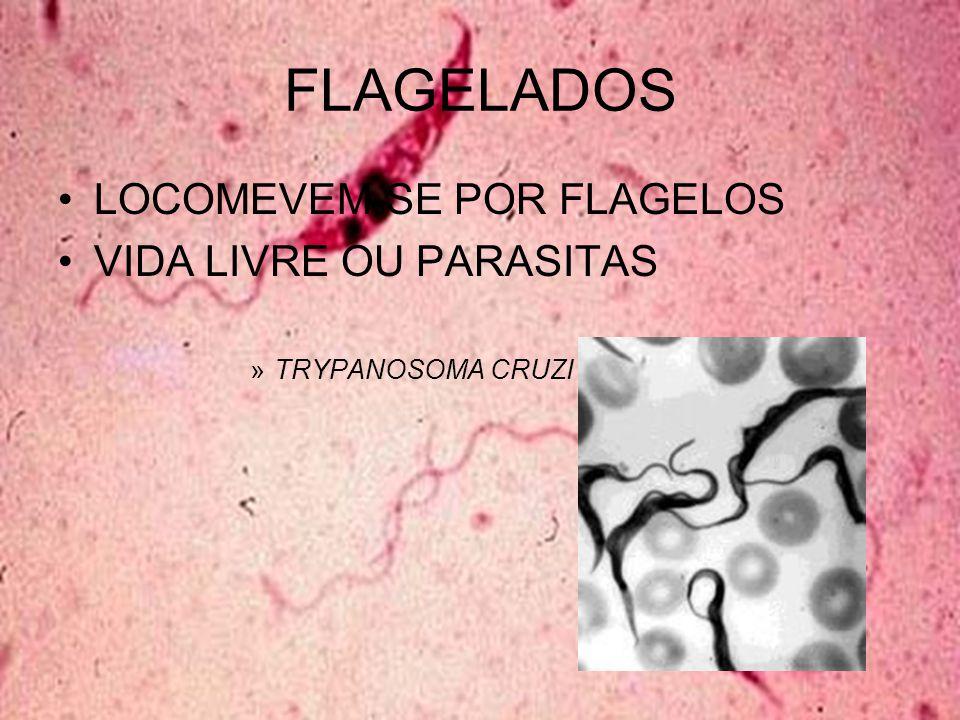 Giardia Giardia lamblia Parasita intestinal –Diarreias gordurosas Transmitida pela água e alimentos Diagnosticada pelo exame de fezes