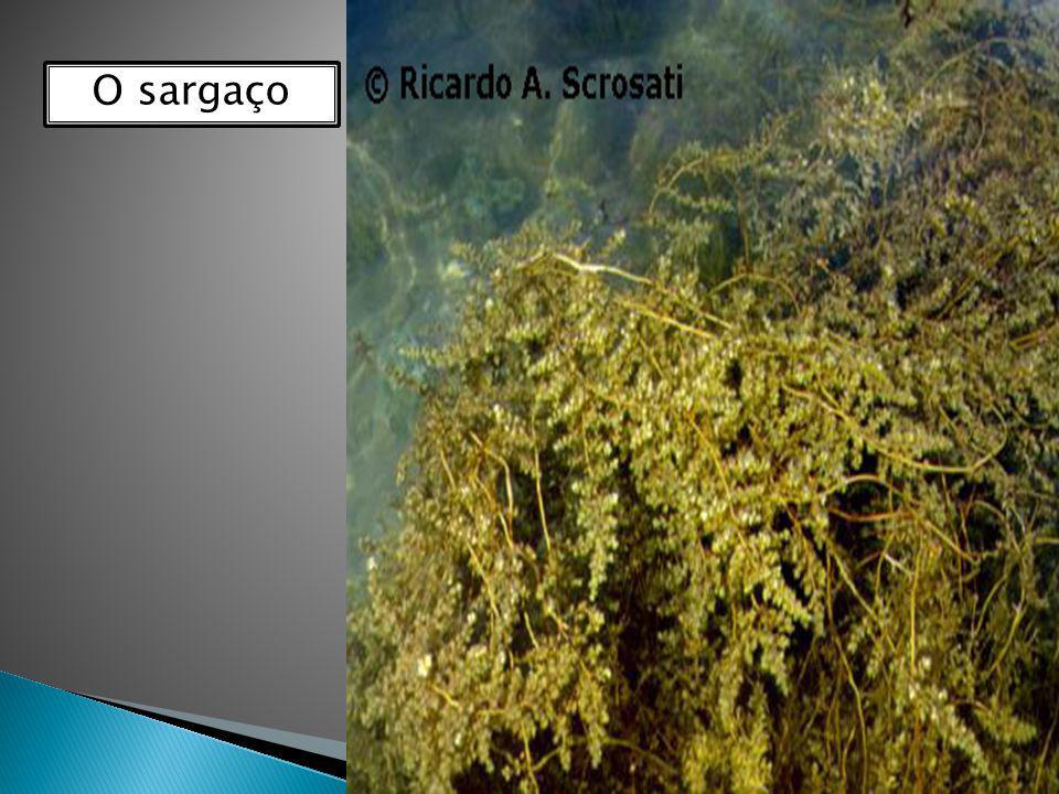 Feofíceas ou algas pardas ou algas marrons