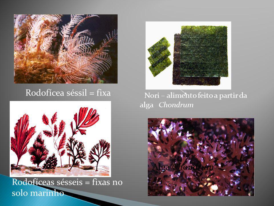 Pigmento ficoeritrina; talo complexo, e aspecto de verdadeira planta. Exemplos: Coralina e Gelidium. PRODUÇÃO DE ÁGAR, CULINÁRIA JAPONESA Algas Vermel