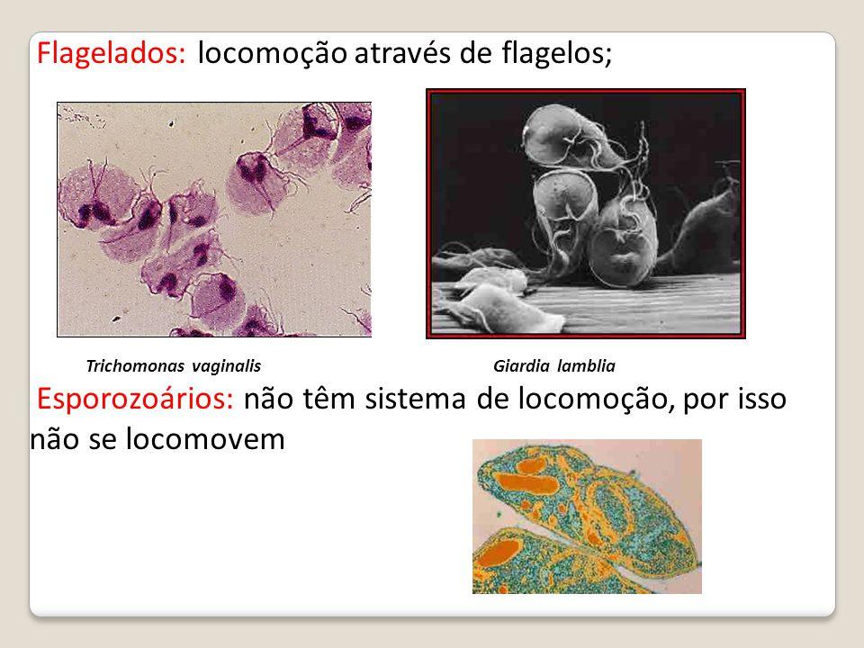 Flagelados: locomoção através de flagelos; Trichomonas vaginalis Giardia lamblia Esporozoários: não têm sistema de locomoção, por isso não se locomove
