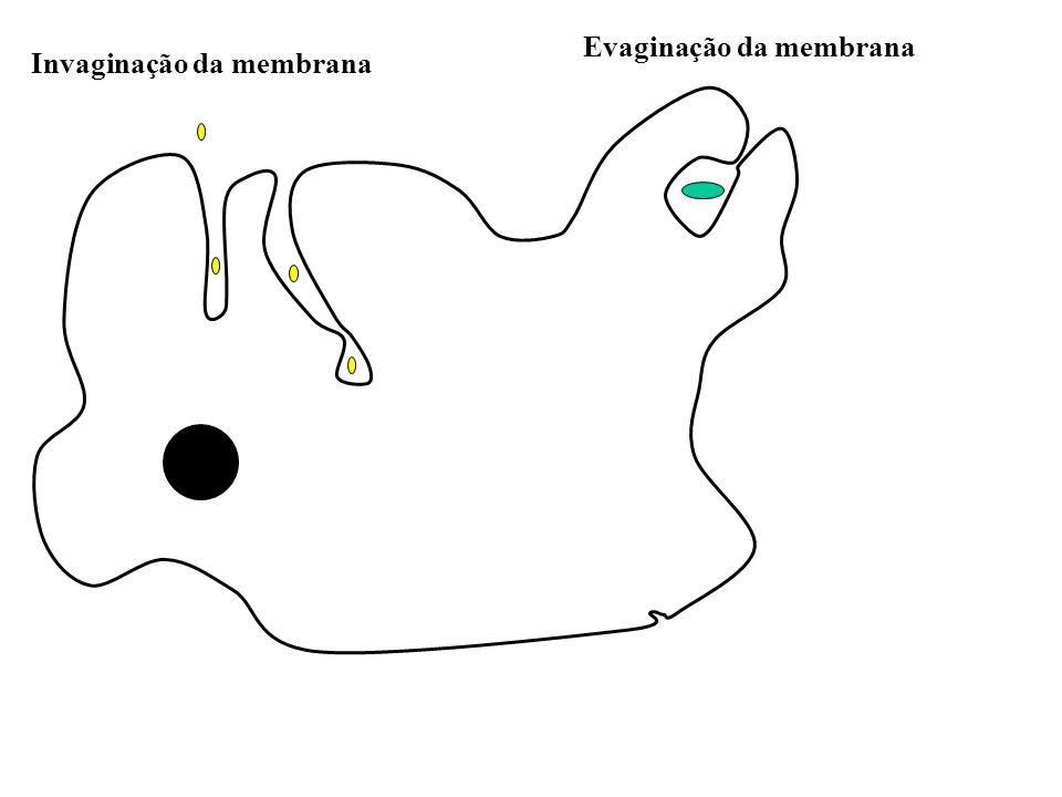 Invaginação da membrana Evaginação da membrana