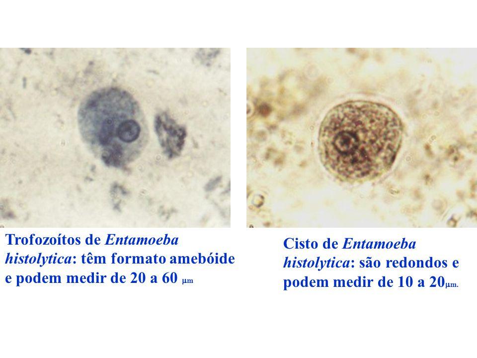Trofozoítos de Entamoeba histolytica: têm formato amebóide e podem medir de 20 a 60  m Cisto de Entamoeba histolytica: são redondos e podem medir de 10 a 20  m.