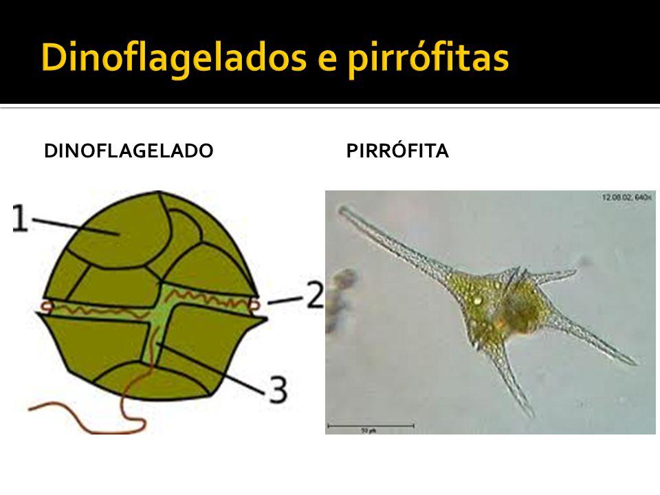  Possui parede celular dura formada por sílica;  Após morrerem formam os diatomitos;  Os diatomitos é utilizado como matéria- -prima para vários produtos.