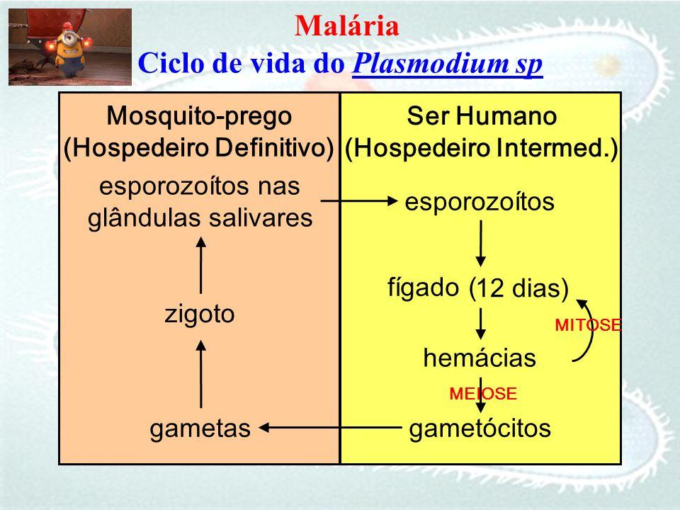 esporozoítos nas glândulas salivares esporozoítos hemácias zigoto fígado ( Ciclo de vida do Plasmodium sp Mosquito-prego (Hospedeiro Definitivo) Ser H