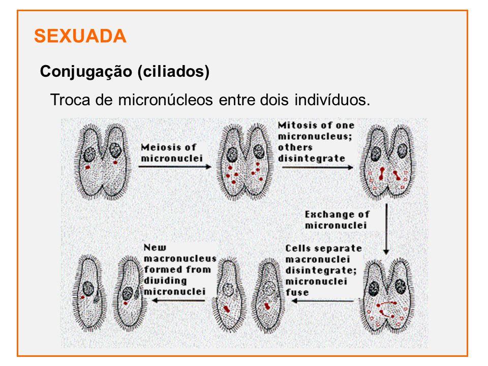 SEXUADA Troca de micronúcleos entre dois indivíduos. Conjugação (ciliados)