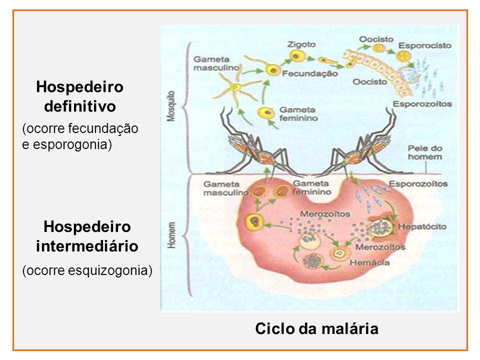 Ciclo da malária Hospedeiro definitivo (ocorre fecundação e esporogonia) Hospedeiro intermediário (ocorre esquizogonia)