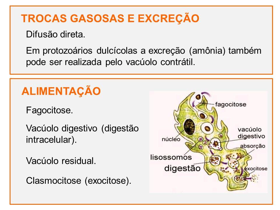 TROCAS GASOSAS E EXCREÇÃO Difusão direta. ALIMENTAÇÃO Fagocitose. Vacúolo digestivo (digestão intracelular). Vacúolo residual. Clasmocitose (exocitose