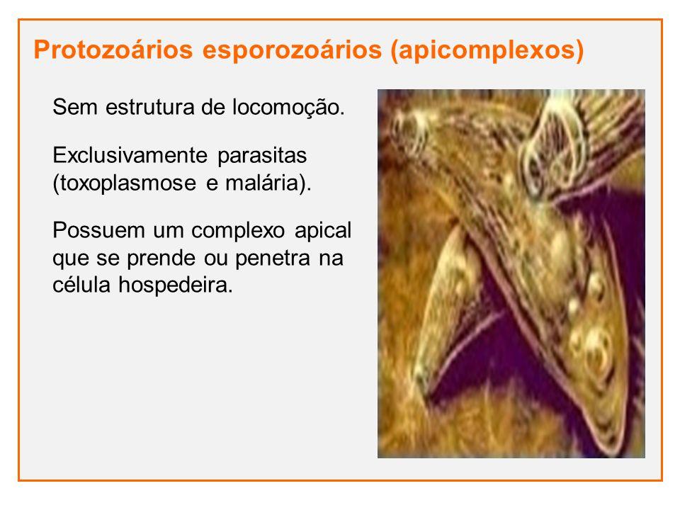 Protozoários esporozoários (apicomplexos) Exclusivamente parasitas (toxoplasmose e malária). Sem estrutura de locomoção. Possuem um complexo apical qu
