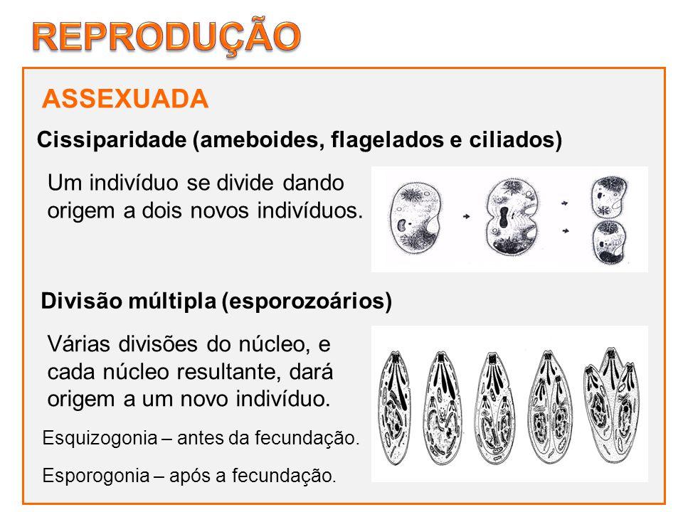 ASSEXUADA Um indivíduo se divide dando origem a dois novos indivíduos. Cissiparidade (ameboides, flagelados e ciliados) Divisão múltipla (esporozoário