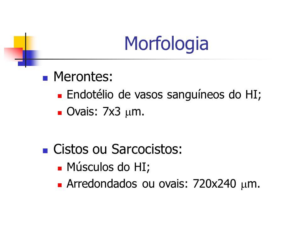 Morfologia Merontes: Endotélio de vasos sanguíneos do HI; Ovais: 7x3  m.
