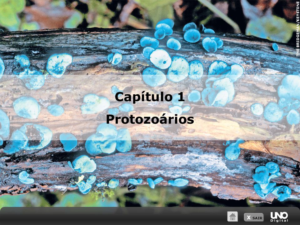 X SAIR Representação da estrutura interna do paramécio Controla as funções vegetativas Participa da reprodução sexuada Controle osmótico Resíduos eliminados Vacúolo digestório Vacúolo contrátil Cílios Macronúcleo Micronúcleo 1 Protozoários