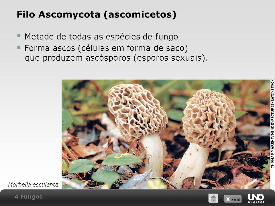 X SAIR Filo Ascomycota (ascomicetos)  Metade de todas as espécies de fungo  Forma ascos (células em forma de saco) que produzem ascósporos (esporos sexuais).