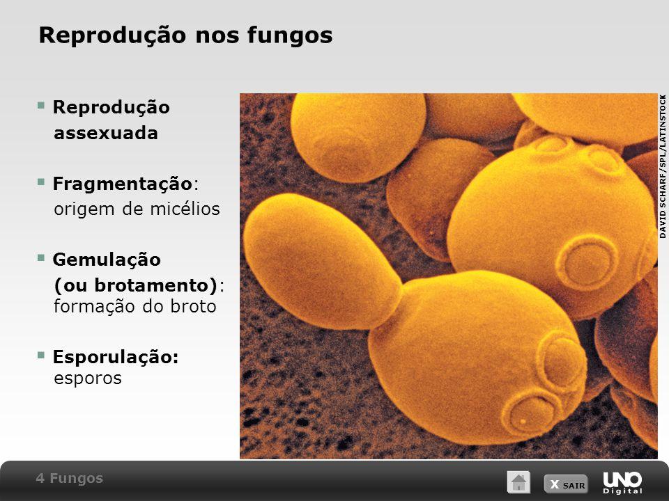 X SAIR Reprodução nos fungos Micrografia de levedura em brotamento.