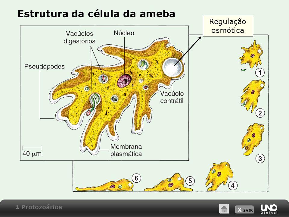 X SAIR Estrutura da célula da ameba Regulação osmótica 1 Protozoários