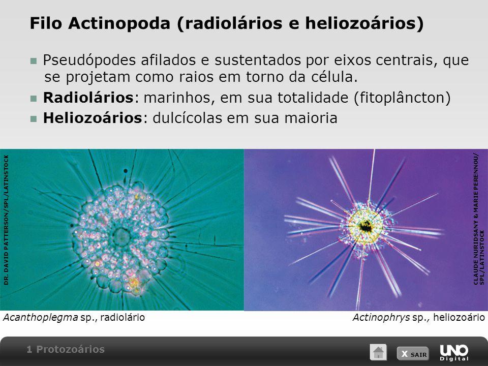 X SAIR Filo Actinopoda (radiolários e heliozoários) Pseudópodes afilados e sustentados por eixos centrais, que se projetam como raios em torno da célula.