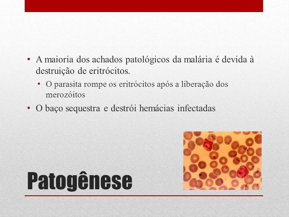 Patogênese A maioria dos achados patológicos da malária é devida à destruição de eritrócitos. O parasita rompe os eritrócitos após a liberação dos mer