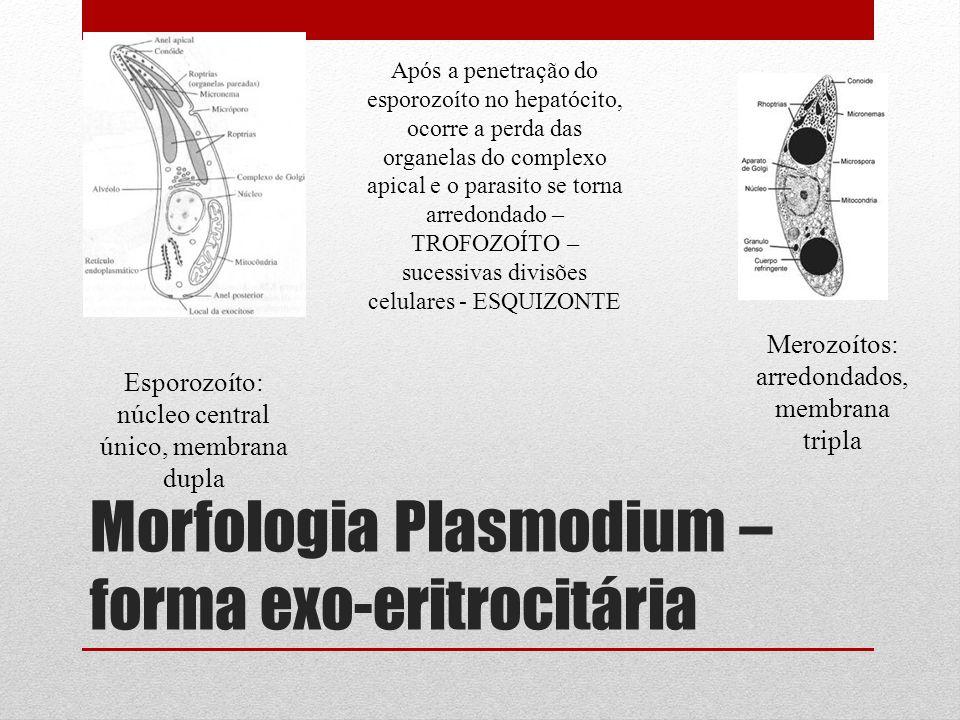 Morfologia Plasmodium – forma exo-eritrocitária Esporozoíto: núcleo central único, membrana dupla Merozoítos: arredondados, membrana tripla Após a pen