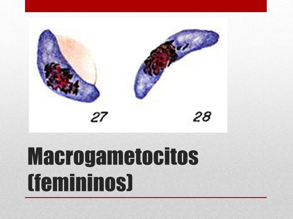 Macrogametocitos (femininos)