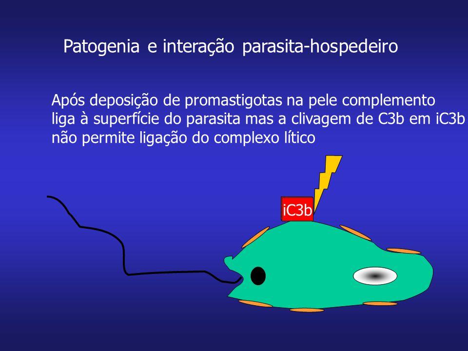 Patogenia e interação parasita-hospedeiro C3b Após deposição de promastigotas na pele complemento liga à superfície do parasita mas a clivagem de C3b