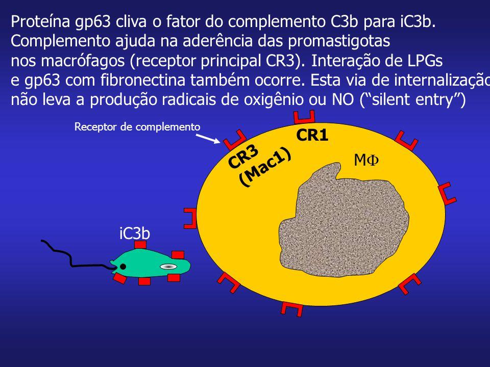 MM Proteína gp63 cliva o fator do complemento C3b para iC3b. Complemento ajuda na aderência das promastigotas nos macrófagos (receptor principal CR3