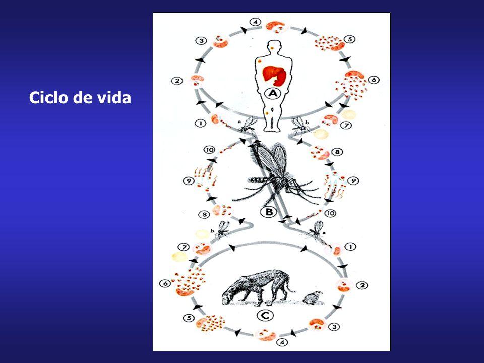 Formas promastigotas metacíclicas regurgitadas por mosquitos são depositadas na dermis, onde são fagocitados por macrófagos Vetores (Diptera, Phlebotomidae: Lutzomiya, Phlebotomus), no território brasileiro: Lutzomiya longipalpis, L.