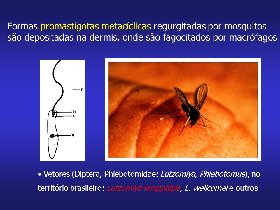 Promastigotas dentro do fagolisossomo se transformam em amastigotas, que se multiplicam no macrófago.