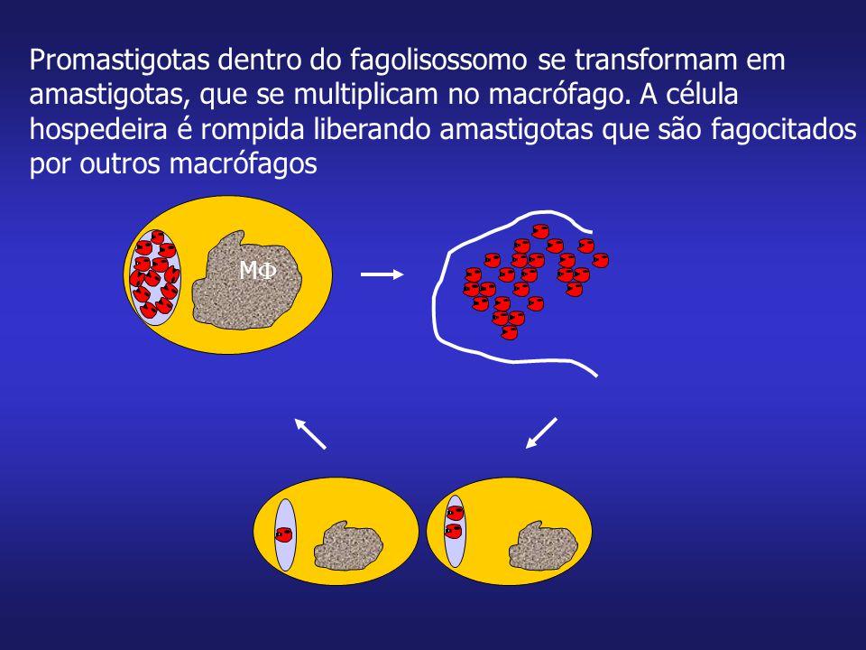 Macrófagos infectados com Leishmanias do subgênero Viannia (espécies das Américas) contém menos parasitas em vários vacúolos parasitóforos (ajuda no diagnóstico por microscopia) MM MM Subgênero Leishmania Subgênero Viannia