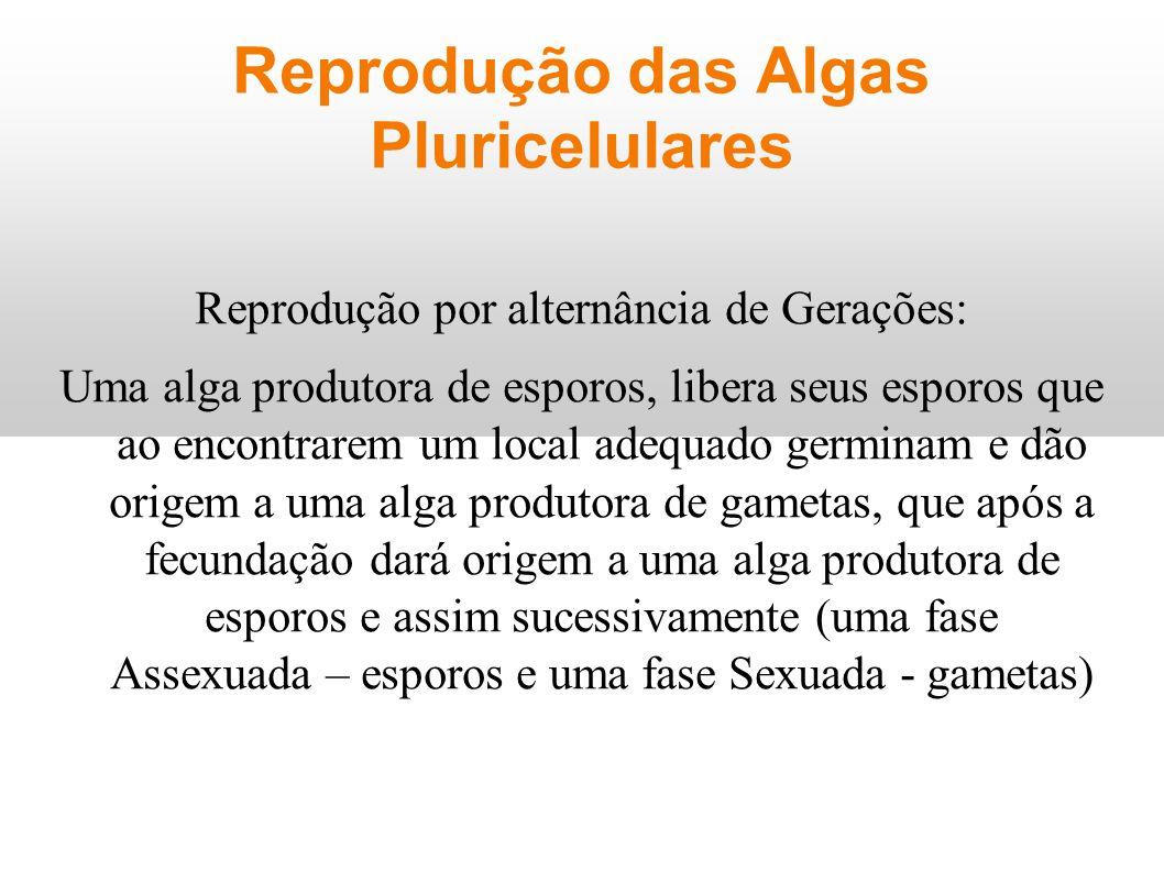 Reprodução das Algas Pluricelulares Reprodução por alternância de Gerações: Uma alga produtora de esporos, libera seus esporos que ao encontrarem um l
