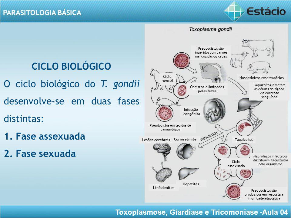 Toxoplasmose, Giardíase e Tricomoníase -Aula 04 PARASITOLOGIA BÁSICA 1.Fase assexuada: nos tecidos de vários hospedeiros (inclusive gatos e outros felídeos); 2.Fase sexuada: nas células do epitélio intestinal de gatos jovens (e outros felídeos) não imunes.
