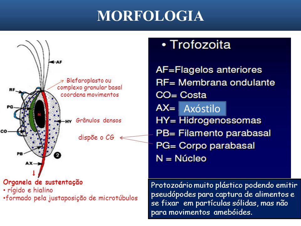 MORFOLOGIA 18 Axóstilo Protozoário muito plástico podendo emitir pseudópodes para captura de alimentos e se fixar em partículas sólidas, mas não para
